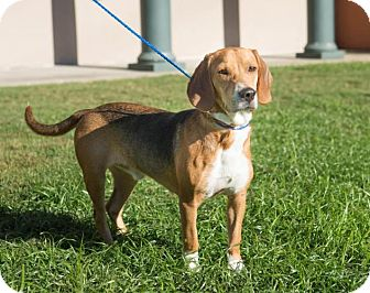 Beagle Dog for adoption in Folsom, Louisiana - George