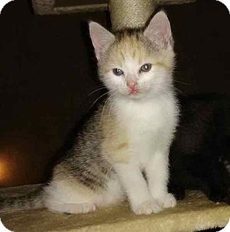 Calico Kitten for adoption in McArthur, Ohio - Cali