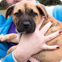 Adopt A Pet :: Lilly the Puppy - Midlothian, VA