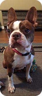 Boston Terrier Dog for adoption in Van Vleck, Texas - emmi