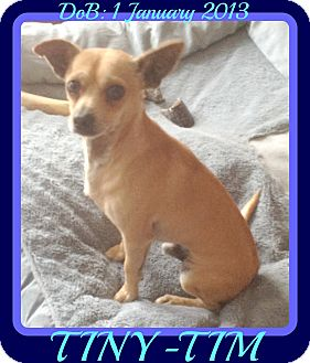 Chihuahua Dog for adoption in Allentown, Pennsylvania - TINY-TIM