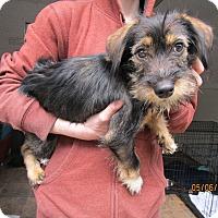 Adopt A Pet :: Luna - Tillamook, OR