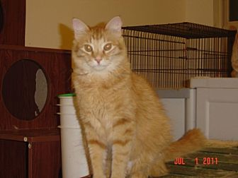 Domestic Mediumhair Cat for adoption in Houston, Texas - Tator Tot