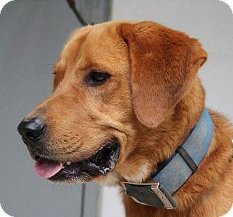 Labrador Retriever/Shepherd (Unknown Type) Mix Dog for adoption in Hagerstown, Maryland - Harry