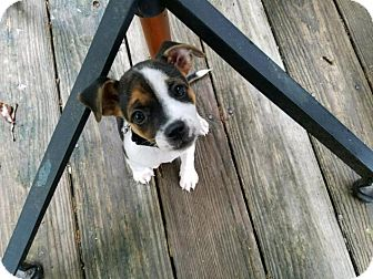 Jack Russell Terrier/Beagle Mix Puppy for adoption in Charlotte, North Carolina - Harlequin