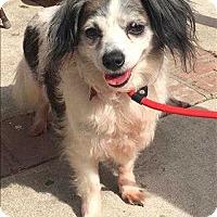 Adopt A Pet :: Spot - Encino, CA