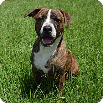 Mountain Cur Mix Dog for adoption in Brooksville, Florida - 10308210 LUNCHBOX