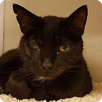 Domestic Shorthair Cat for adoption in Grayslake, Illinois - Dandelion