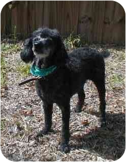 Miniature Poodle Mix Dog for adoption in Melbourne, Florida - CLANCY