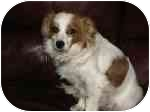 King Charles Spaniel/Papillon Mix Dog for adoption in Homer, New York - Sweetie