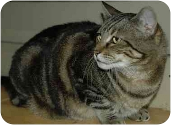 Domestic Shorthair Cat for adoption in Pendleton, Oregon - Big Mama