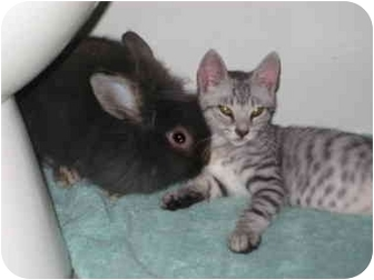 Jersey Wooly Mix for adoption in Williston, Florida - FunnyBunny