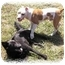 Photo 2 - Labrador Retriever/Chow Chow Mix Dog for adoption in Peconic, New York - Zulu