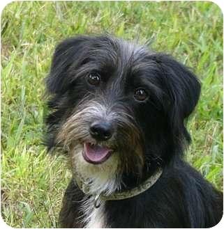 Schnauzer (Miniature)/Dachshund Mix Dog for adoption in Mocksville, North Carolina - Fritz