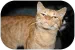 American Shorthair Cat for adoption in Lake Ronkonkoma, New York - T. J.