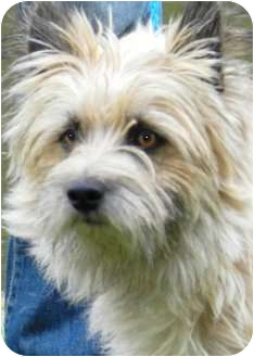 Cairn Terrier Dog for adoption in Wakefield, Rhode Island - ABNER(WOW!!! TAKE A LOOK!!)