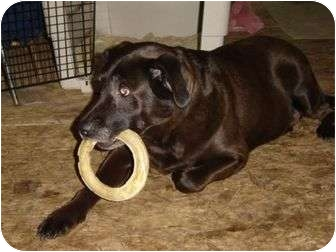 Labrador Retriever Dog for adoption in Caledon, Ontario - Hunter