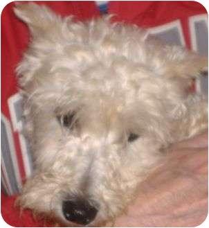 Miniature Schnauzer Mix Dog for adoption in North Benton, Ohio - Crystal