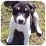 Photo 1 - Border Collie Mix Puppy for adoption in Metamora, Indiana - Lego, Ellie's pup