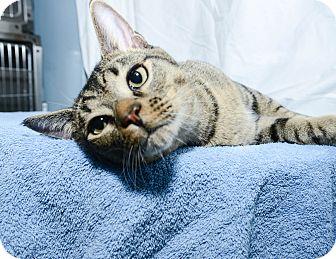Domestic Shorthair Cat for adoption in New York, New York - Santino