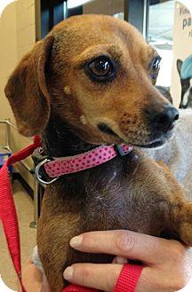 Chihuahua/Dachshund Mix Dog for adoption in Walker, Louisiana - Kendra