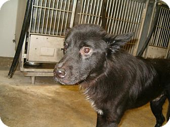 Shepherd (Unknown Type)/Husky Mix Dog for adoption in Upper Sandusky, Ohio - Brodie