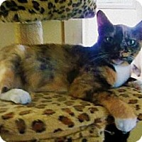 Domestic Shorthair Cat for adoption in Iroquois, Illinois - Lorelli