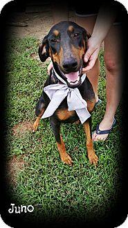 Doberman Pinscher Dog for adoption in Brattleboro, Vermont - Juno