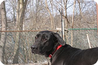 Great Dane/Labrador Retriever Mix Dog for adoption in Baden, Pennsylvania - Boomer