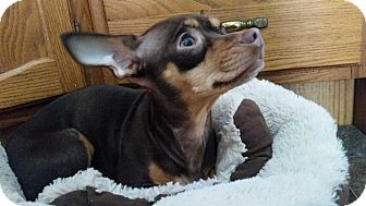 Chihuahua Mix Dog for adoption in Worcester, Massachusetts - Ginger - Sweet and Fun!