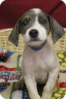 Labrador Retriever Mix Puppy for adoption in Waldorf, Maryland - Thompson