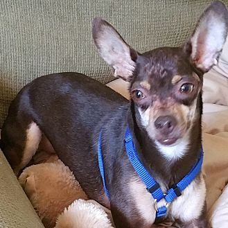 Miniature Pinscher/Chihuahua Mix Dog for adoption in Phoenix, Arizona - Brownie