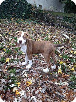 Boxer/Labrador Retriever Mix Puppy for adoption in Colmar, Pennsylvania - Perseus