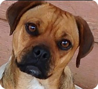 Pug Mix Dog for adoption in Staunton, Virginia - Jasmine - Carefree Little Girl