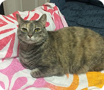 Domestic Shorthair Cat for adoption in Mount Pleasant, South Carolina - Athena
