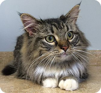 Maine Coon Cat for adoption in Nashville, Tennessee - Prissy