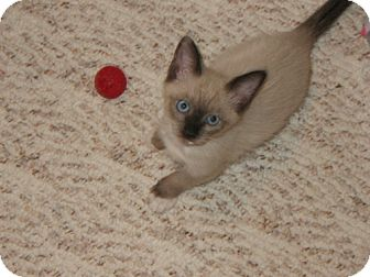 Snowshoe Kitten for adoption in Green Cove Springs, Florida - Twiggy