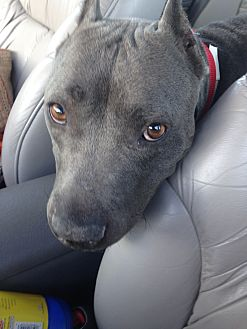 American Pit Bull Terrier/American Staffordshire Terrier Mix Dog for adoption in San Ramon, California - Shiloh