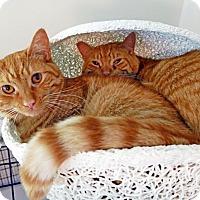 Adopt A Pet :: Cheeto - Victor, NY