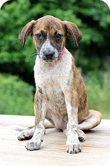 Labrador Retriever Mix Puppy for adoption in Waldorf, Maryland - Velvet