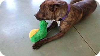 Boxer/Pit Bull Terrier Mix Dog for adoption in Edgewood, New Mexico - Lisa