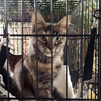 Calico Kitten for adoption in Monrovia, California - Jojo
