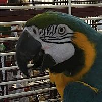 Adopt A Pet :: Gilligan - Punta Gorda, FL