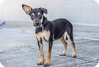Manchester Terrier/Miniature Pinscher Mix Puppy for adoption in Dallas, Texas - Bambi