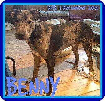 Catahoula Leopard Dog Mix Dog for adoption in Mount Royal, Quebec - BENNY