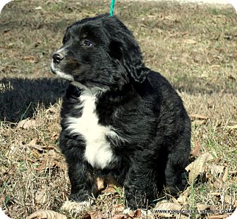 Border Collie/Greater Swiss Mountain Dog Mix Puppy for adoption in Waterbury, Connecticut - Bear/ADOPTED