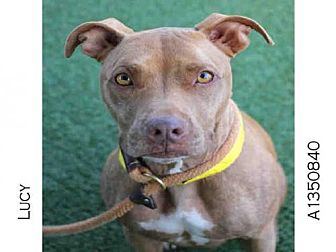 Staffordshire Bull Terrier Dog for adoption in Los Angeles, California - LUCY