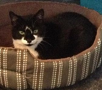 Domestic Shorthair Cat for adoption in Watsontown, Pennsylvania - Abella (deaf)
