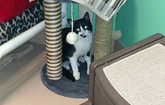 Domestic Shorthair Cat for adoption in Walden, New York - Olive