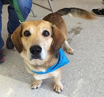 Golden Retriever/Dachshund Mix Dog for adoption in Fairfax, Virginia - Sammy *Adoption Pending*